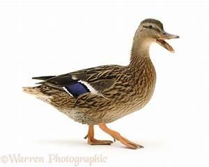 Mallard duck quacking photo WP09596