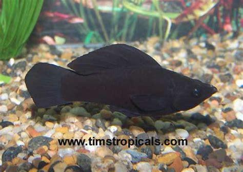 mollies poecilia sailfin livebearer tims tropical