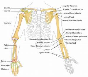 Human Arm Bones Diagram Clip Art At Clker Com