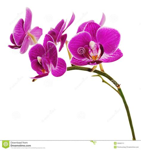 purple orchid clipart clipground