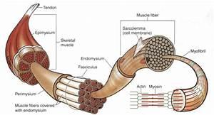 1  Gross Anatomical Structure Of Mature Mammalian Skeletal