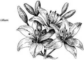 stargazer lilies 百合白描图片 百度知道