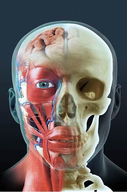Anatomy Head Illustration Medical Skull Muscle Portfolio