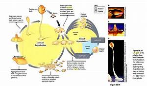 Chromosome - Haploid Eukaryotes