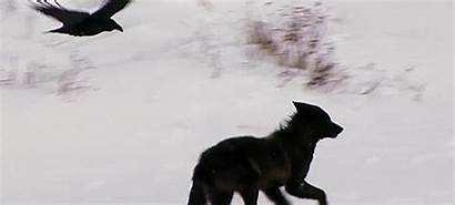 Wolf Wolves Ravens Relationship Symbiotic Raven Crows