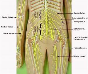 Nerve Models