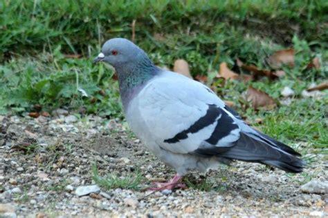 photos de pigeons ramier et biset 224 wood rock pigeon