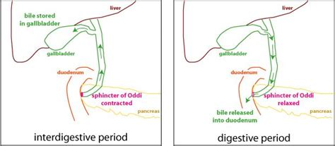 what metabolic by product from hemoglobin colors the urine yellow 17 best ideas about bile duct on liver disease