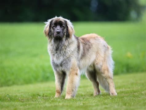 dog breeds   gentle giants
