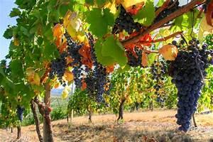 Achat Pied De Vigne Raisin De Table : vigne de table planter et tailler ooreka ~ Nature-et-papiers.com Idées de Décoration