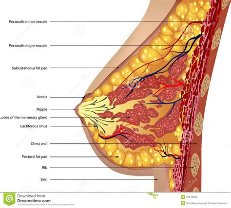 Anatomy Of The Breast Vector Royalty Free Stock Photo