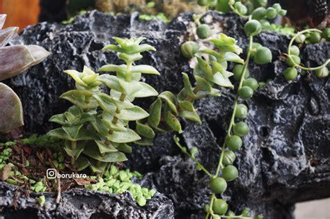 tanaman hias mini borukaro story