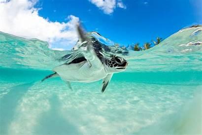 Turtle Sea Underwater Endangered Wallpapersafari Code