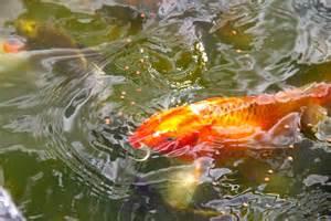 koi fish pond koi fish pond 6 by emoshunka on deviantart