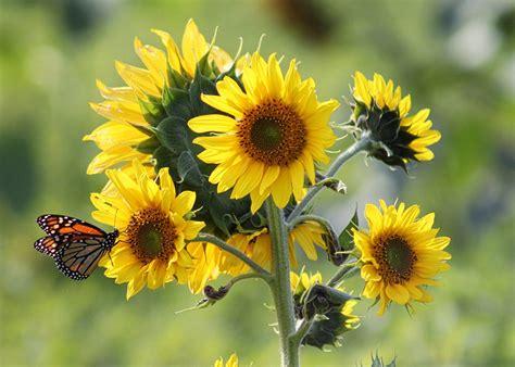 jenis jenis bunga matahari tercantik lengkap