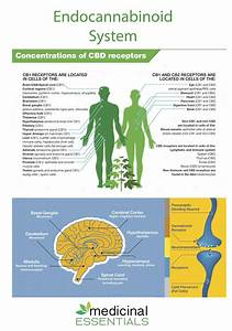 The Endocannabinoid System For Beginners