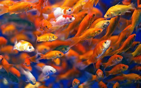 壁紙 多くの魚、金魚、水 2560x1600 Hd 無料のデスクトップの背景