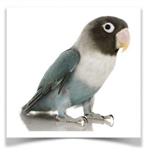 blue colored lovebirds for sale