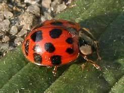 Marienkäfer Im Haus : gro er oder tigerschnegel limax maximus ~ Lizthompson.info Haus und Dekorationen