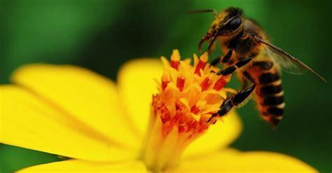 estinzione api  sara una minaccia  la vita umana