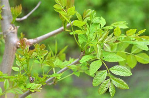 fiches cuisine le frêne un arbre à planter au jardin les différentes