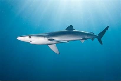 Shark Sharks Wallpapers Backgrounds 3d Tiger Pc
