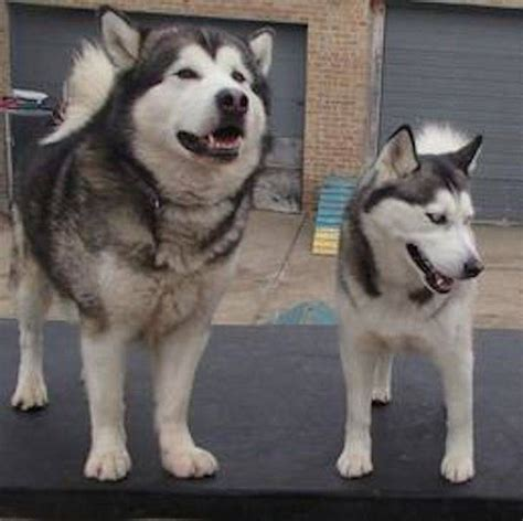 do malamutes shed more than huskies what are the differences between malamutes and huskies
