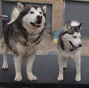 What are the differences between malamutes and huskies ...