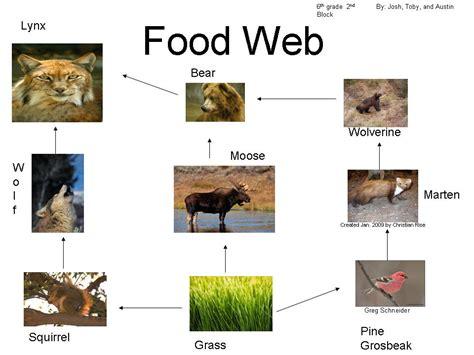cuisine web taiga biome animals lynx imgkid com the image kid