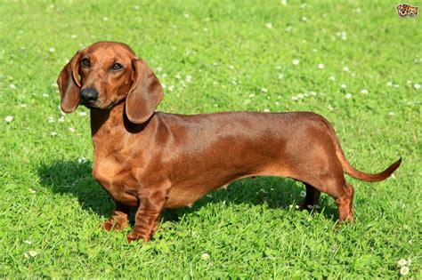 Small Non Shedding Dogs Uk by Dachshund Dog Breed Information Buying Advice Photos And