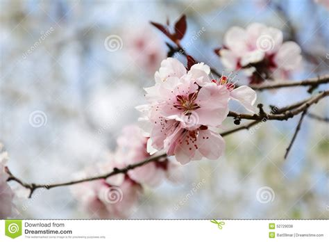 Pink Cherry Blossom Sakura On Tree Branch Stock Photo