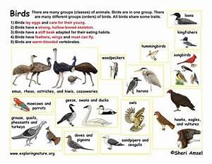 Class - Birds (AVES) - (K-3)