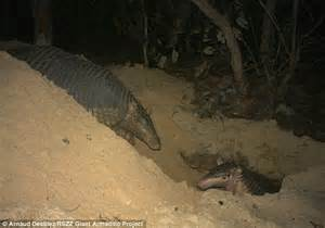 Are Giant Armadillos The Ultimate  U0026 39 Full Nest Syndrome
