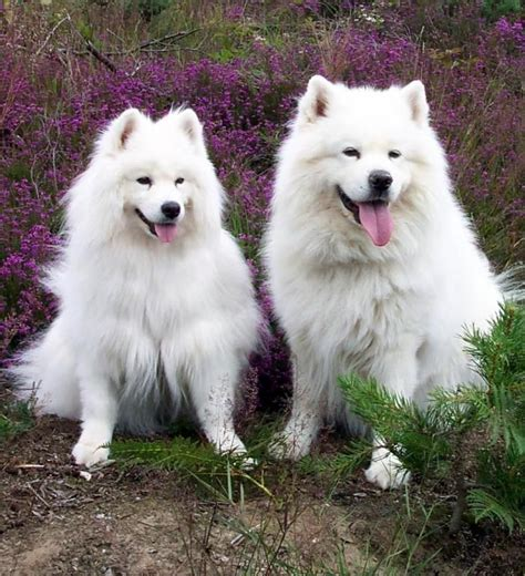 1000 Images About Samoyed Husky Dogs On Pinterest