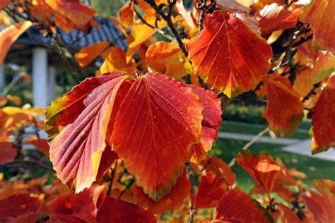 Freude Am Garten Im Herbst Und Winter by Zaubernuss Bringt Farbe Im Herbst Und Winter Quelle