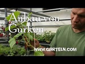 Gurken Pflanzen Anleitung : eine neue bew sserung f r das 1 gew chshaus funnycat tv ~ Whattoseeinmadrid.com Haus und Dekorationen