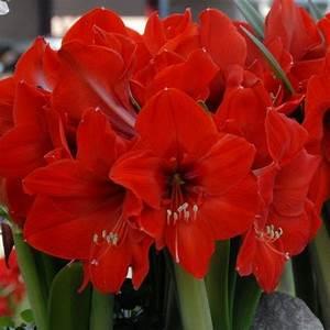 Zimmerpflanze Mit Roten Blättern : 39 red rival 39 ist eine wundersch ne amaryllis mit gro en roten bl ten die zwiebeln kommen ab ~ Eleganceandgraceweddings.com Haus und Dekorationen