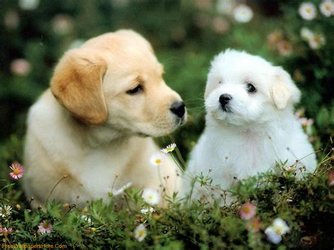 Download Free Hd Cute Puppy Dog Wallpapers  The Quotes Land