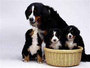 Appenzell Mountain Dog - Pictures, Diet, Breeding, Life ...