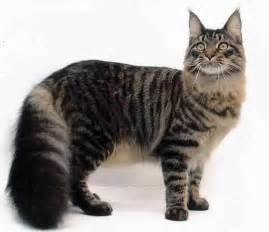 maine coon cats for maine coon pets and docile