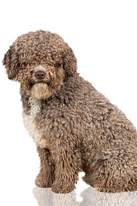 spanish water dog dog breed information