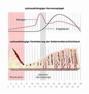Wie Eisprung Berechnen : wie funktioniert der weibliche zyklus ~ Themetempest.com Abrechnung