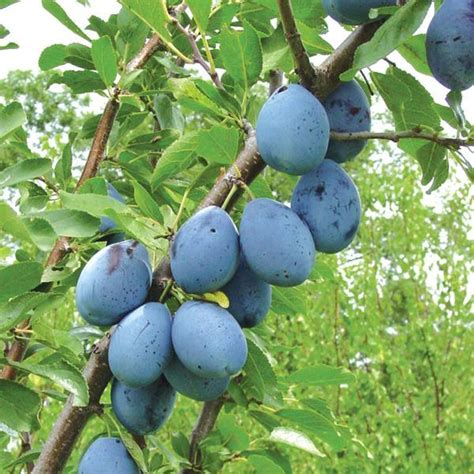 prune tree stanley prune plum plum trees stark bro s