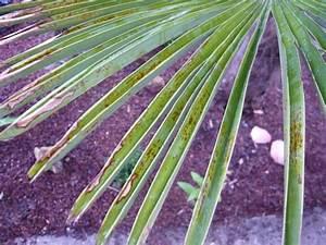 Stockrosen Blätter Haben Löcher : palmen und co braune flecken auf den bl ttern ~ Lizthompson.info Haus und Dekorationen