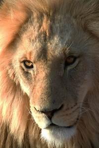 Male Lion Face