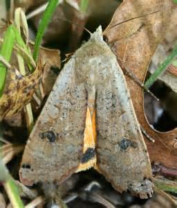 Large Brown Moth Identification
