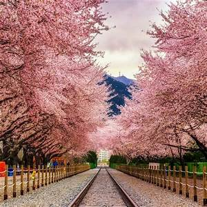 Best Cherry Blossom Cities In The World U2014where To See