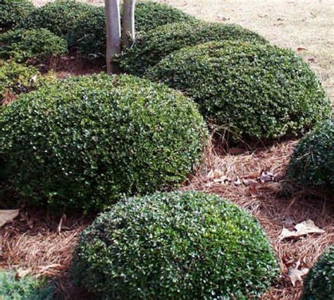 small landscape bushes dwarf yaupon holly my front yard pinterest sun pictures of and flower