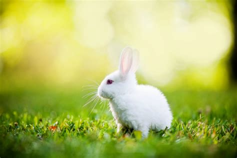 White Rabbit Hd Wallpapers For Desktop  Animals Hd
