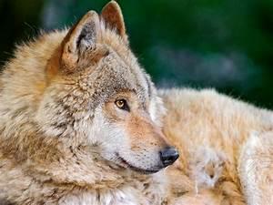 Pretty wolf profile | A quite classical picture: progfile ...